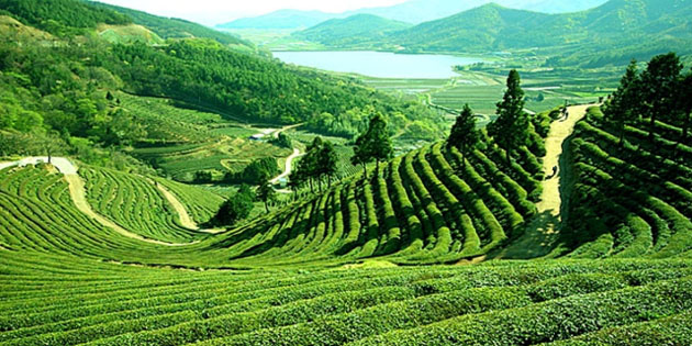 Darjeeling Tea Garden Photo